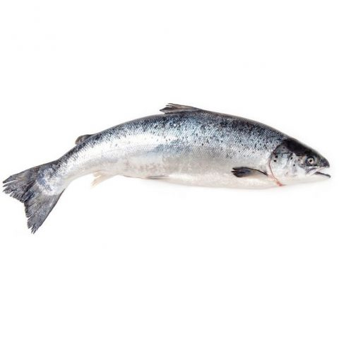 North Atlantic Salmon