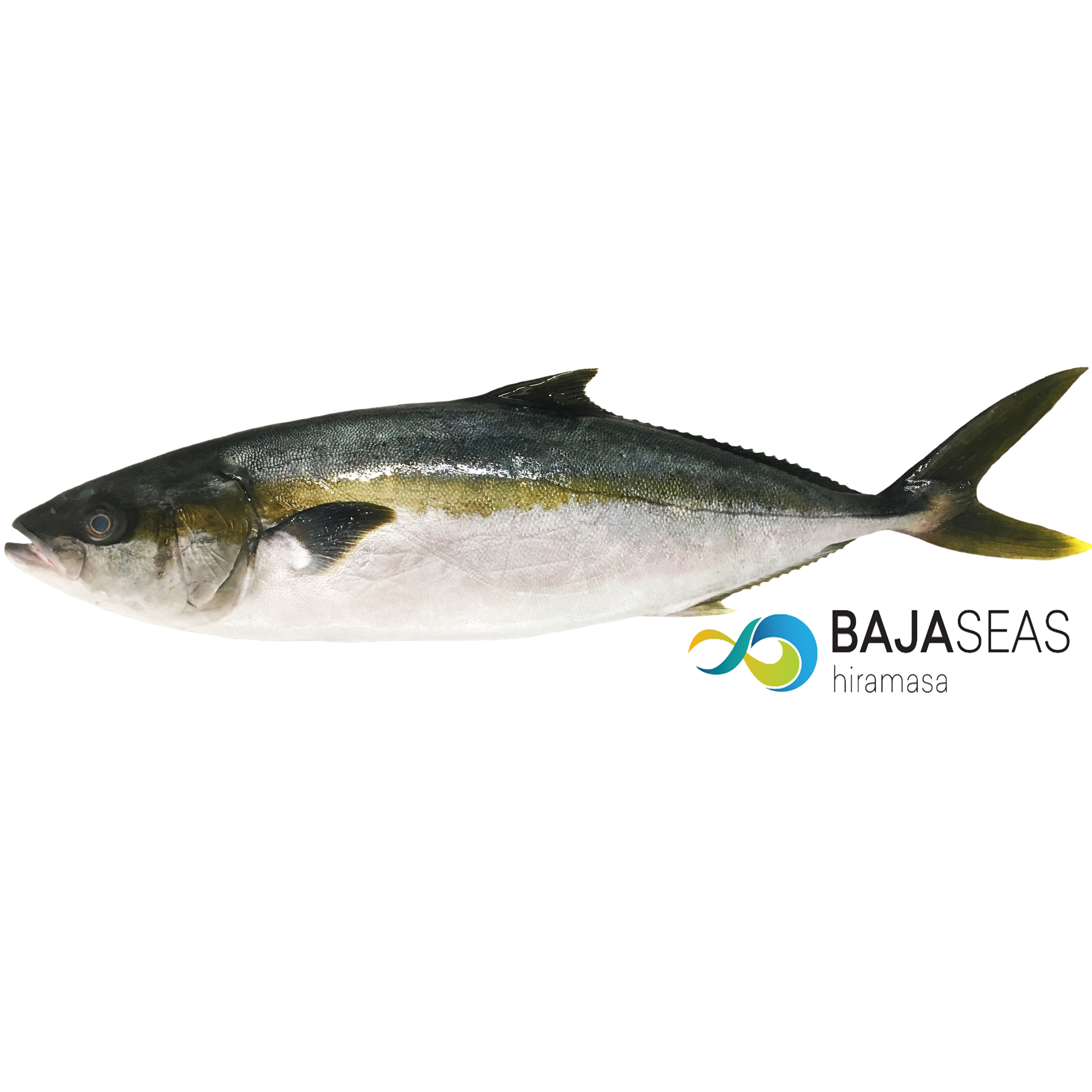 Hiramasa with Baja Seas Logo