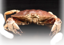 Trademark products like the picked meat of the Peekytoe Crab along with fresh seafood from Maine and around the World establish Browne Trading as one of the premier suppliers of Seafood in America